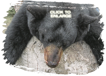 Trophy Bear Hunting in Vermilion Bay
